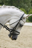 Headshot of a grey dressage sport horse in action Royalty Free Stock Photography