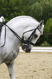 Headshot of a grey dressage sport horse in action Royalty Free Stock Image