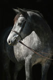 Headshot of grey mare in bridle. Against black background Stock Photos
