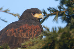 A headshot of a Harris Hawk Parabuteo unicinctus perched in a pine tree. A headshot of a stunning Harris Hawk Parabuteo unicinctus perched in a pine tree stock images