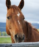 Headshot of horse in Grand Tetons National Park. Headshot of horse near fence with Grand Tetons Mountains in background in Wyoming Stock Images
