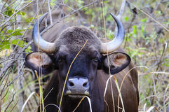 Headshot of an indian Gaur Stock Photo