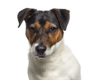 Headshot of a Jack Russell Terrier puppy (6 months old) Stock Photos