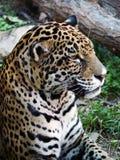 Headshot of a Jaguar. Stock Images
