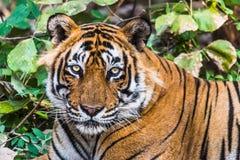 Headshot königlichen Bengal-Tigers genannt Ustaad stockfotografie