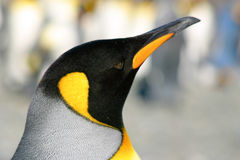Headshot of king penguin Royalty Free Stock Photos