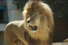 Headshot of Male Lion (Panthera leo) stock photo