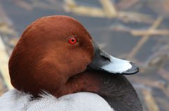 A headshot of a male Pochard Aythya ferina. Royalty Free Stock Photography