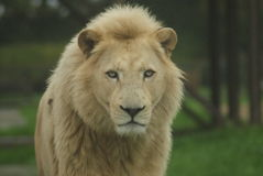 Headshot of Male White Lion (Panthera leo krugeri) royalty free stock photo