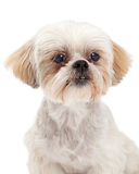 Headshot of Maltese and Poodle Dog Mix Stock Photo
