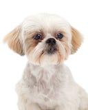 Headshot of Maltese and Poodle Dog Mix Stock Photo