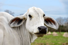 Headshot Of A White Cow Of American Brahman Breed Royalty Free Stock Photography