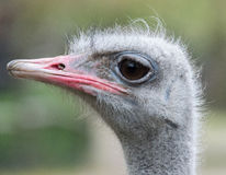 Headshot of ostrich (Struthio camelus) Royalty Free Stock Photos