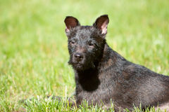 Headshot of Patterdale terrier. Laying in the grass Stock Photography