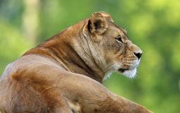 Single adult female Lion in zoological garden. Headshot portrait of a single adult female Lion in zoological garden Stock Photo