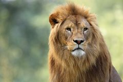 Single adult male Lion in zoological garden. Headshot portrait of a Single adult male Lion in zoological garden Stock Photography