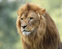 Single adult male Lion in zoological garden. Headshot portrait of a Single adult male Lion in zoological garden Stock Image