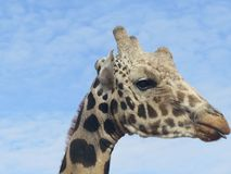 Headshot profile of a reticulated giraffe with its tongue sticking out slightly on a clear day royalty free stock images