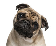 Headshot of a Pug (9 months old) Stock Image