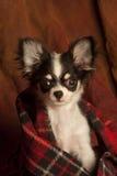 Headshot of a puppy chihuahua i Stock Photo