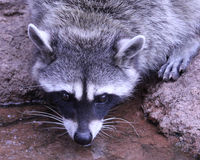 Headshot Raccoon Drinking. Raccoon Drinking while watching the photographer Royalty Free Stock Image