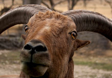 Headshot of an African goat tilting its head, looking at you. A headshot of wide-eyed African goat (Aoudad) looking directly at you with a tilted head Stock Photos