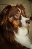 Headshot of Red Tri-Color Australian Shepherd Royalty Free Stock Photography