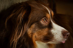 Headshot of Red Tri-Color Australian Shepherd Stock Photography