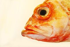 Headshot of redfish Royalty Free Stock Photos