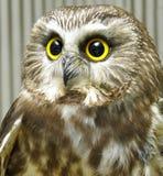 Headshot of saw whet owl Royalty Free Stock Image