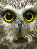 Headshot of saw whet owl Royalty Free Stock Image