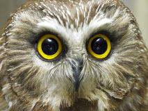 Headshot of saw whet owl Stock Photography