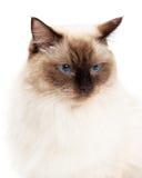 Headshot schöner Ragdoll-Katze Lizenzfreie Stockfotos