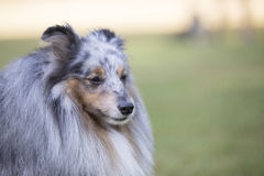 Headshot of a Shetland Sheepdog stock photos