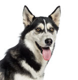 Headshot of a Siberian Husky Stock Images