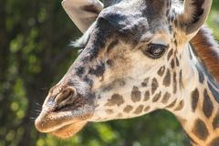 Headshot of single adult giraffe with green background stock photography