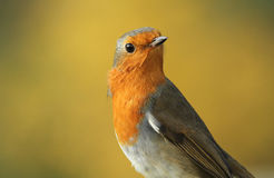 A headshot of a stunning Robin Erithacus rubecula. A headshot of a beautiful Robin Erithacus rubecula, set against a yellow bokeh background royalty free stock images