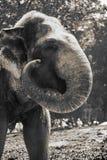 Headshot of an Sumatra Elephant at Ragunan Zoo, Jakarta, Indonesia. royalty free stock photo