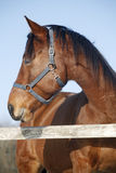 Headshot of a thoroughbred horse in winter pinfold Stock Photos