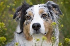 Headshot van Australische Sheperd op gebied van bloemen Royalty-vrije Stock Afbeeldingen