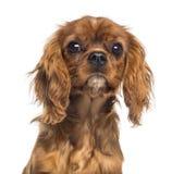 Headshot van een Arrogant puppy van Koningscharles spaniel (5 maanden oud) Stock Afbeeldingen