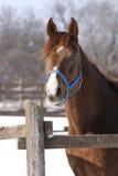 Headshot van een bruin paard bij wintertijd Stock Foto's