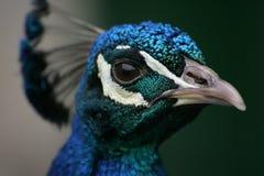 Headshot van een Pauw/een Peafowl Royalty-vrije Stock Afbeelding