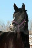 Headshot van een zwarte paardwintertijd Stock Afbeelding
