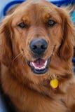 Headshot van Gelukkig Golden retriever Royalty-vrije Stock Fotografie