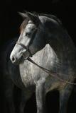 Headshot van grijze merrie in teugel Stock Foto's