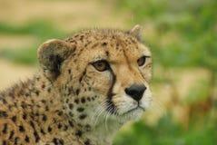 Headshot van Jachtluipaard (Acinonyx-jubatus) Stock Afbeelding