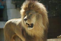 Headshot van Mannelijke Leeuw (Panthera-leo) stock foto