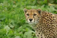 Headshot van vrouwelijke Jachtluipaard (Acinonyx-jubatus) stock afbeeldingen