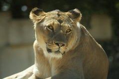 Headshot van Vrouwelijke Leeuw (Panthera-leo) Royalty-vrije Stock Afbeelding